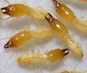شركة مكافحة النمل الابيض بالمزاحميه 0553551993