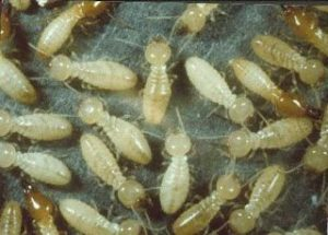 شركة مكافحة النمل الابيض بجازان شركة مكافحة النمل الابيض بجازان شركة مكافحة النمل الابيض بجازان 0555024104