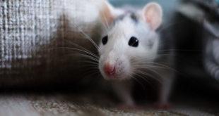 شركات مكافحة الفئران بالرياض