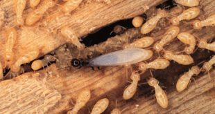 شركات مكافحة النمل الابيض برماح