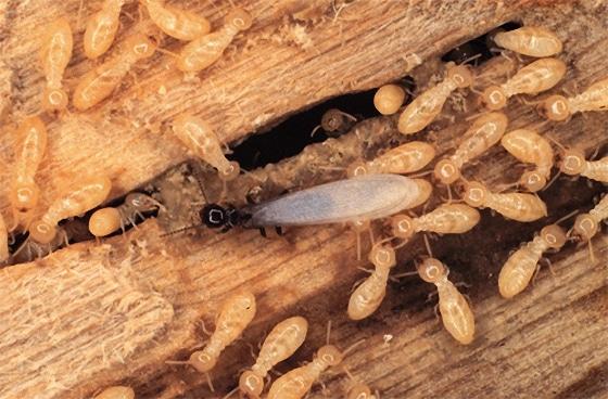شركات مكافحة النمل الابيض برماح شركة مكافحة حشرات برماح شركة مكافحة حشرات برماح