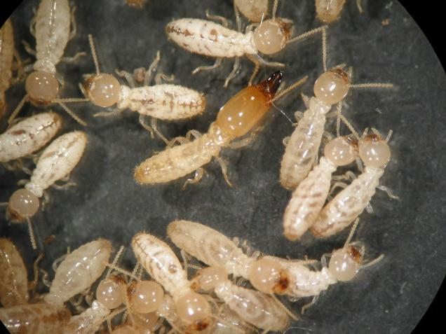 شركة مكافحة النمل الابيض بشقراء 0553551993