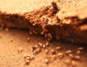 شركة مكافحة النمل الابيض بالدمام شركة مكافحة النمل الابيض بالخبر شركة مكافحة النمل الابيض بالدمام والخبر 0 17965725 165332560657537 1418240201 n 300x232