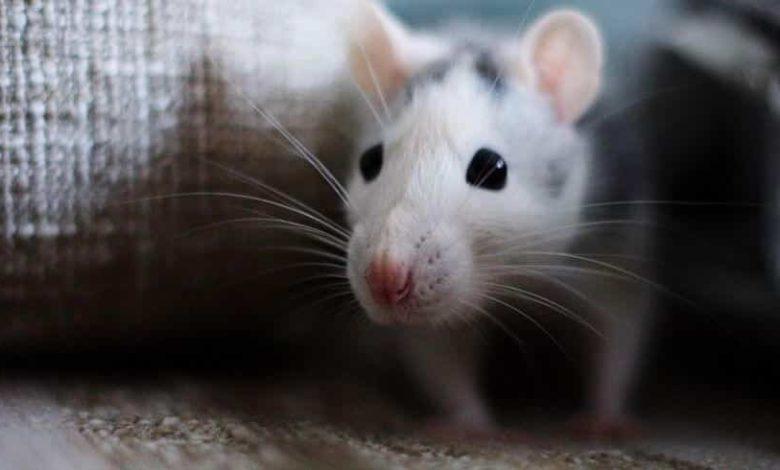 شركة مكافحة فئران بالقصيم