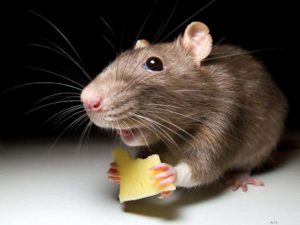 شركة مكافحة الفئران بالقصيم شركة مكافحة فئران بالقصيم شركة مكافحة فئران بالقصيم 0553128213