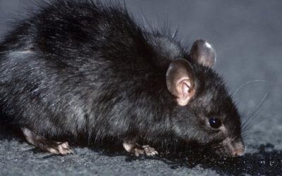 شركة مكافحة الفئران بمحايل عسير 0555024104