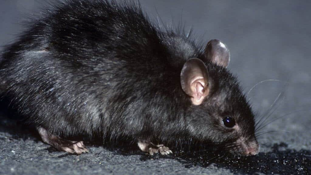 شركة مكافحة الفئران بمحايل عسير