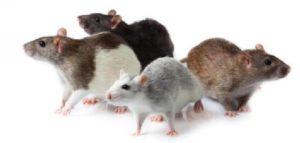 شركة مكافحة الفئران بمحايل عسير, شركة مكافحة الفئران بمحايل عسير شركة مكافحة الفئران بمحايل عسير 0550362055 300x143